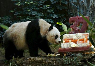 世界現存最年長大熊貓迎來37歲生日 相當于人類百歲以上