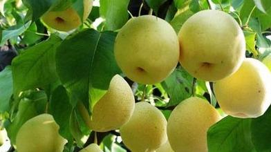 济宁水果价格回落 吃鸭梨不再有压力