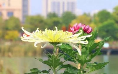 最美鲜花献祖国 高新区蓼河秋季菊展预计10月18日开幕