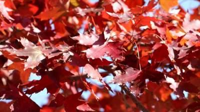 曬曬我家的紅葉丨濟寧李營街道30多個品種紅楓似火 秋韻美景時時不同