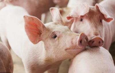 好消息!今年年底前我国生猪产能有望探底回升