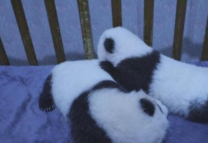 3只大熊猫公开?#24515;?#35748;养 100万可终身冠名认养一只