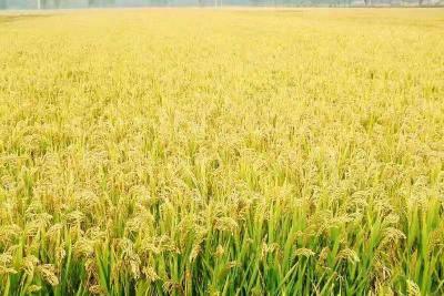 中国绿色稻米优质高效技术论坛在鱼台召开