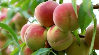 """农园变游园 晚熟冬桃成为群众增收的""""金果子"""""""