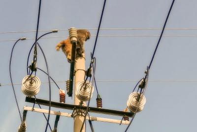 """""""齊天大圣""""爬上了電桿,這可難壞了嘉祥供電公司的供電員工"""