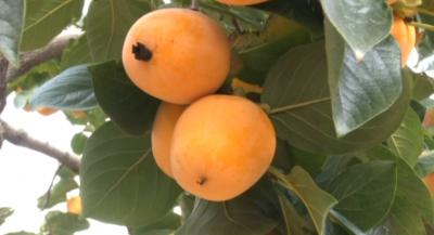 美丽乡村建设 小柿子做成大产业