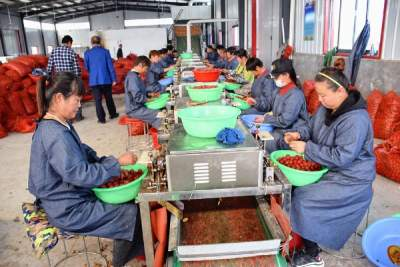 曲阜市吳村鎮:山楂加工項目秀 集體農民雙豐收