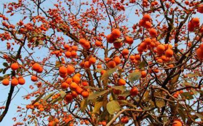 邹城的小柿子做成大产业 助力乡村振兴