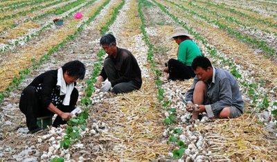 金乡大蒜入选中国农业品牌目录2019农产品区域公用品牌