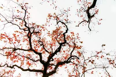 熟了柿子紅了秋(組圖)