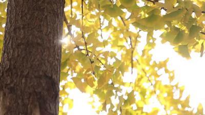 視頻丨初冬,50秒帶你去看最美的銀杏葉!