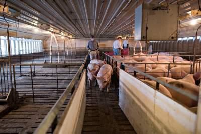 豬肉價格降到25.6元/斤,全國生豬生產正加快恢復