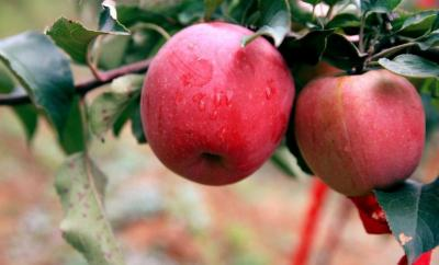 美丽乡村建设  苹果飘香迎来收获期