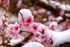 《桃花雪》