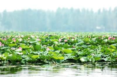 微山縣保護修復濕地 6.3萬畝 南四湖水質達地表水三類標準