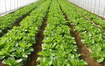 放心,蔬菜保价稳供!寿光蔬菜货源充足,车出得去也进得来!