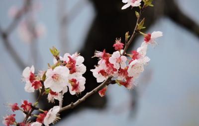 三月春光無限好 泗水杏花競相綻放