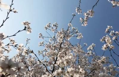 上九山的樱花开了,还有什么不能期待