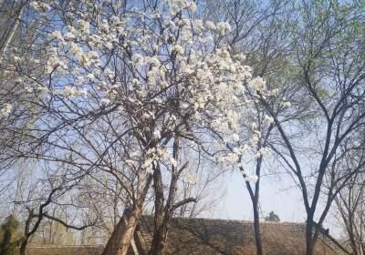 上九山的櫻花開了,還有什么不能期待