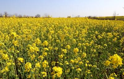 春光无限好,花开正当时!微山岛千亩油菜花迎来盛开期