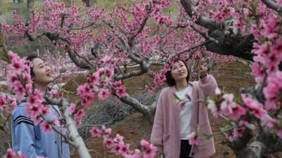 泗水縣萬畝桃花競相綻放 快帶著家人一起來賞花