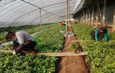 供不應求!汶上一家甘薯基地每天育苗200多萬株
