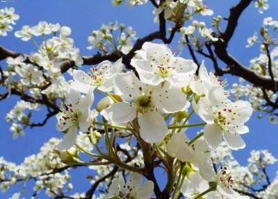 梁山赏花正当时 千亩梨花开朵朵醉游人