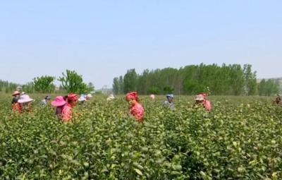 鄒城石墻鎮200畝春茶喜迎豐收 每畝收入兩三萬
