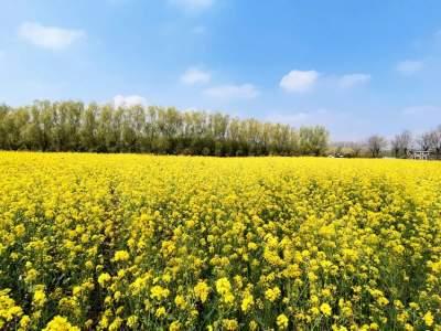 美景来袭!羊山景区油菜花进入最美赏花期