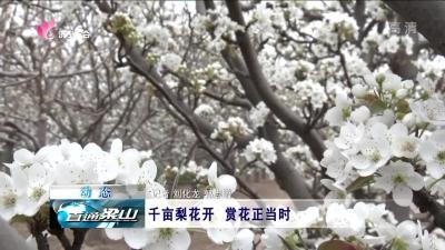 梁山:千亩梨花开 赏花正当时