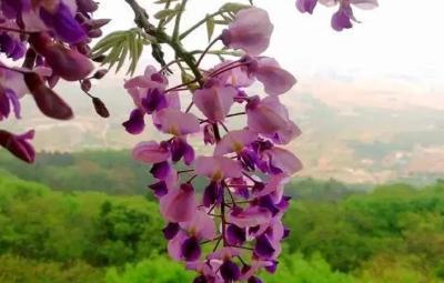 邂逅一場紫色浪漫 鄒城嶧山紫藤花開春深如雨