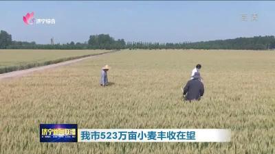 我市523万亩小麦丰收在望