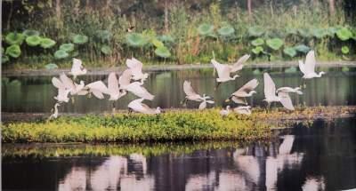 废窑坑变模样 白天鹅成常客!济宁湿地面积增至15.88万公顷