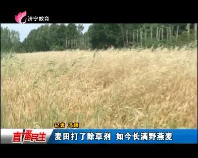麦田打了除草剂 如今长满野燕麦