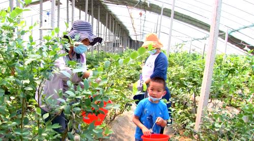 鄒城藍莓果兒香 廣大游客采摘樂
