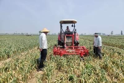 金乡县60万亩大蒜进入集中收获期