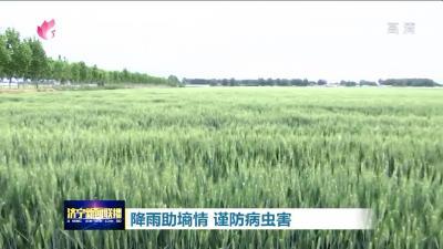 昨日濟寧降雨助墑情 農業專家提示:謹防病蟲害