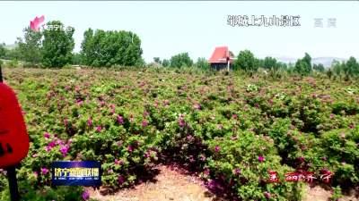 花香四溢|鄒城上九山古村景區300畝玫瑰競相開放