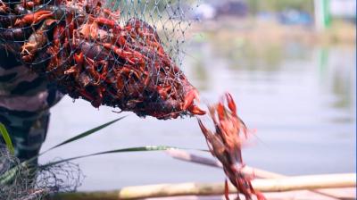 乡村振兴 | 鱼台生态小龙虾开启富民大产业