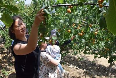 九仙山的杏儿熟了!初夏采杏丰收忙