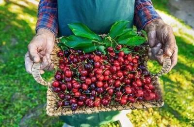 99%樱桃都用膨大剂? 专家表示与事实不符