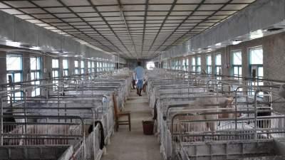 村内大型养猪场违规养殖臭气熏天 村民怨声载道