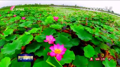 鄒城太平國家濕地公園千畝荷花盛開