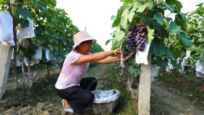 更济宁丨发展特色农业 推进乡村产业振兴