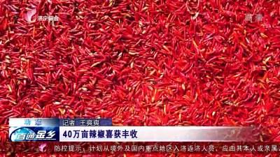 金鄉40萬畝辣椒喜獲豐收