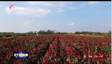 【美麗濟寧】金鄉:辣椒豐收 鄉間一片火紅美景