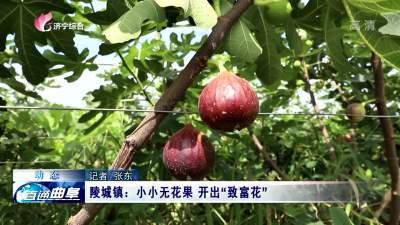"""曲阜陵城鎮:小小無花果 開出""""致富花"""""""