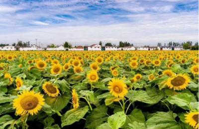 汶上县汶上街道莲花湖村:凝聚合力谋发展 产业振兴促增收