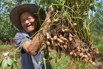 鄉村振興 花生種植占山坡 農民增收香餑餑