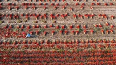 金鄉40萬畝辣椒豐收,蒜鄉大地披紅裝